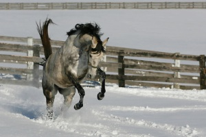 Kingsville, Maryland - December 20th, 2009: A dapple grey thoroughbred horse plays in the snow during a record setting winter storm that hammered the east coast. The storm deposited between 12 and 30 inches of snow in Virginia, Maryland, and Washington, D.C. (Credit Image: © James Berglie/ZUMA Press)