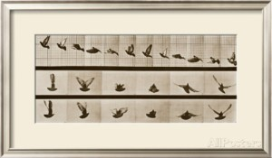 eadweard-muybridge-bird